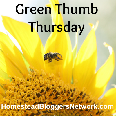 Green Thumb Thursday Sunflower