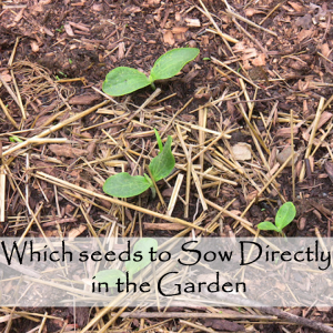 Which Seed should You plant directly Outside