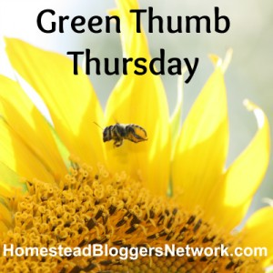 Green-Thumb-Thursday-Sunflower-300x300