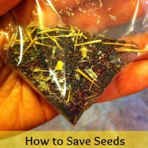 How to Save Seeds (Turnip, Kale, Beans & More)