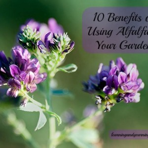 10 Benefits of Using Alfalfa in Your Garden