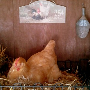 Managing Broody Hens
