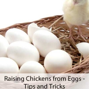 Tips for Raising Chickens from Eggs