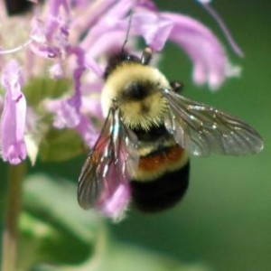 Saving the rusty-patched Bumblebee