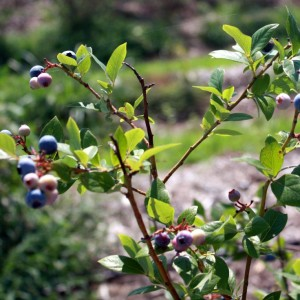 The Boisterous Blueberry: Growing Blueberries in the Home Garden