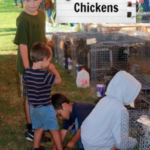 Buying Adult Chickens at an Auction