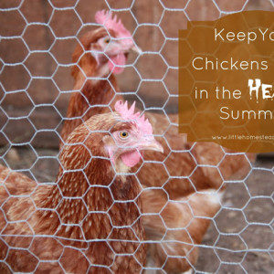 Keep Chickens Cool in the Heat of Summer