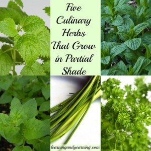 5 Culinary Herbs That Grow in Partial Shade