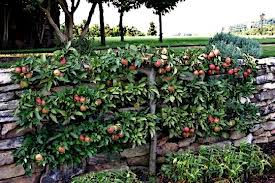 How To Espalier an Apple Tree