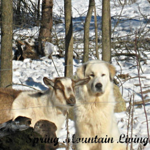 Quick Chat About Livestock Guardian Dogs