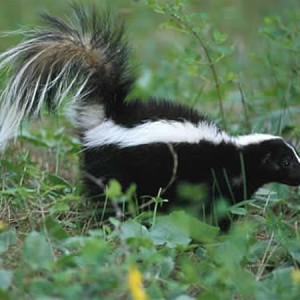 Skunk sprayed your pet? Here's how to get rid of the odor…