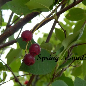 Juneberries Explained & Foraging Tips