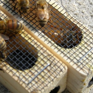 New Queens in the apiary
