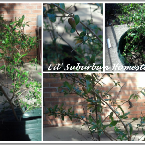 Our Pomegranate Tree & Why You Should Plan For An Edible Landscape