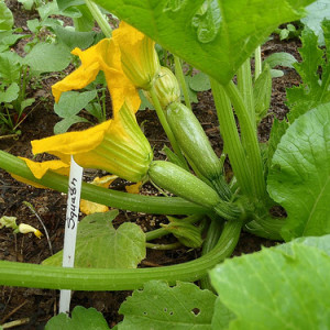 How To Grow Squash From Seed