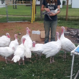 Intro to Turkeys on the Homestead