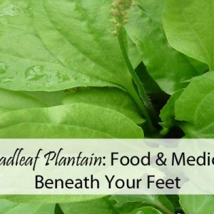 Using Broadleaf Plantain as Food and Medicine