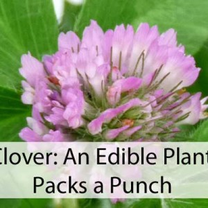 Red Clover: A Plant for Food And Health
