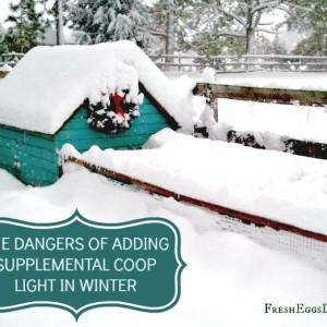 Dangers of Adding Light to your Chicken Coop in Winter