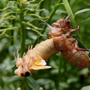 Cicadas: Edible Insects