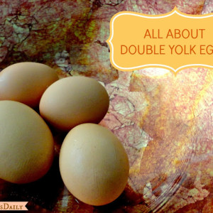 What Causes Double Yolked Chicken Eggs?