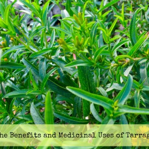 The Benefits anf Medicinal Uses of Tarragon