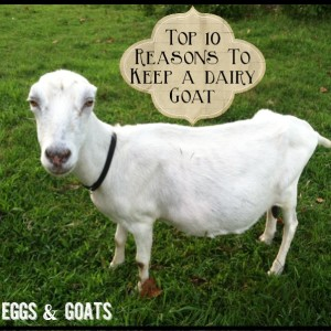 Top 10 Reasons to Keep a Dairy Goat