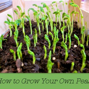 How to Grow Your Own Peas