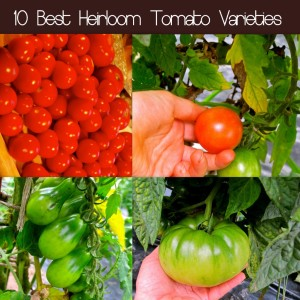 10 Best Heirloom Tomato Varieties