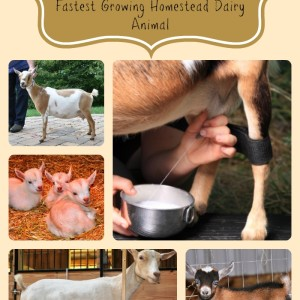 Why Nigerian Dwarf Goats Are Great Homestead Goats
