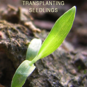 How to Transplnt Seedlings