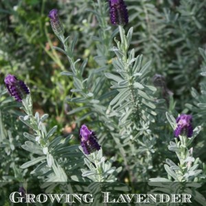 How to Grow Lavender in the Garden