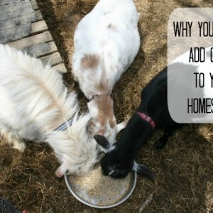 Goats: Why You Should Add Them to Your Homestead