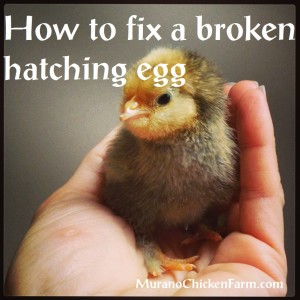 How to save a broken hatching egg