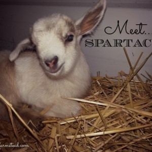 The First Week with Our Baby Goat – Meet Spartacus!