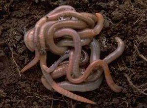 Red Wigglers vs. Earthworms in (Vermi) Composting
