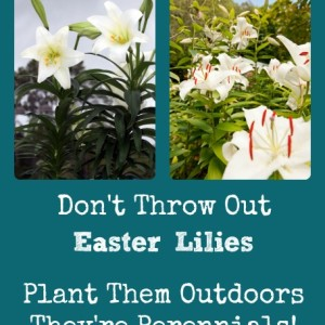 Don't Throw Out Those Easter Lilies!