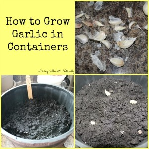 how to grow garlic in a container homestead bloggers network. Black Bedroom Furniture Sets. Home Design Ideas