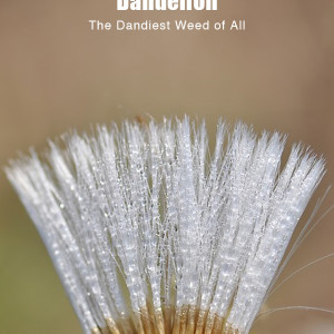 Dandelion, Much More Than a Weed