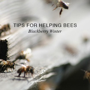 Blackberry Winter – Tips for Helping Bees