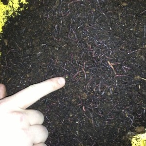 Vermicompost – How to Build a Worm Composting Bin