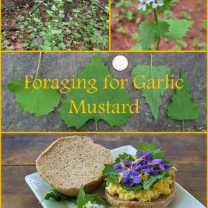 Forage Garlic Mustard, an Edible Invasive Plant