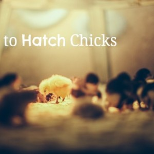 How You Can Hatch Chicks Yourself