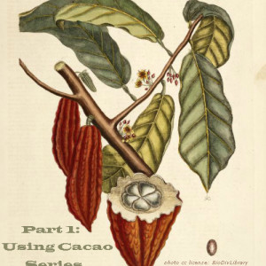 Using Cacao Part 1: Is Cocoa Powder and Cacao Powder The Same Thing?
