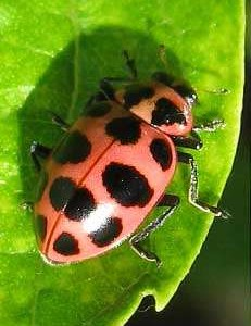 Pink Cucumber Beetle? Look again…