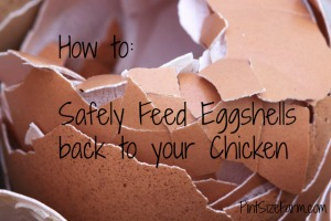 How to Safely Feed Eggshells to your Chickens
