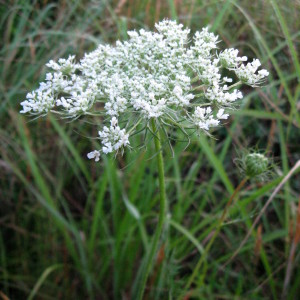 Recipe Box: Queen Anne's Lace Flower Jelly