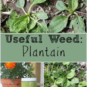 Useful Weed : Plantain