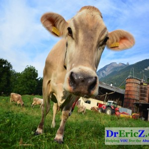 Genetically Modified Cows Pushed as Frankensolution to Milk Allergies!