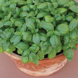How to Grow Pots of Basil